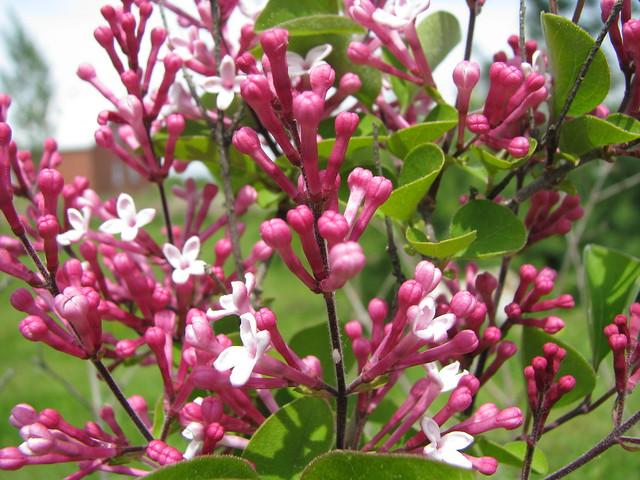 Tinkerbelle Lilac Bush