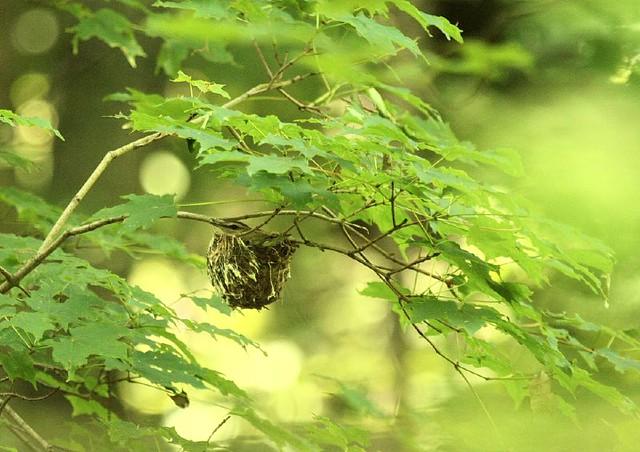 Red eyed vireo nest - photo#38