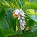 Small photo of Alpinia zerumbet (shell ginger)
