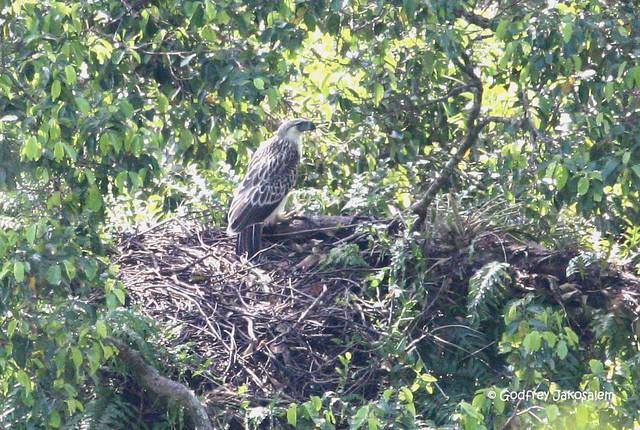 Falconiformes. Família  Acciptridae - Subfamília Buteonidade-Águias coroadas - gênero Pitecophaga jefferyi . Águia das Filipinas. 2877996269_8f44e0e764_z