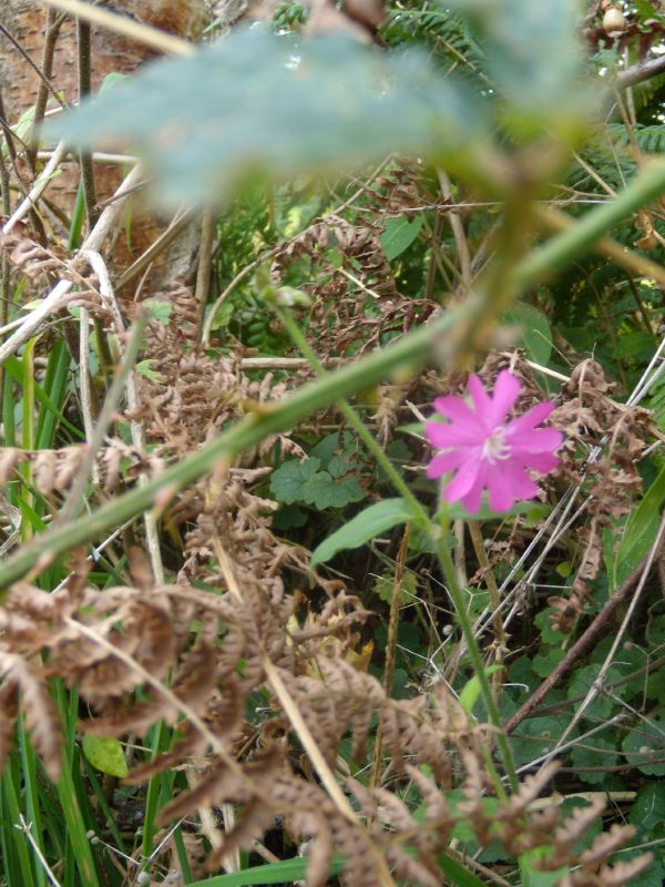 Late flower Red campion unless I'm mistaken. Milford to Godalming