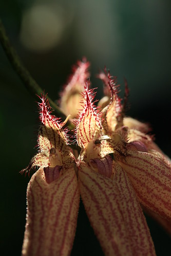 Bulbophyllum sp. backlit detail