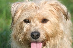 otterhound(0.0), spinone italiano(0.0), dandie dinmont terrier(0.0), lakeland terrier(0.0), miniature poodle(1.0), dog breed(1.0), animal(1.0), dog(1.0), schnoodle(1.0), petit basset griffon vendã©en(1.0), pet(1.0), lã¶wchen(1.0), australian silky terrier(1.0), norfolk terrier(1.0), glen of imaal terrier(1.0), poodle crossbreed(1.0), havanese(1.0), norwich terrier(1.0), morkie(1.0), catalan sheepdog(1.0), sapsali(1.0), cairn terrier(1.0), irish soft-coated wheaten terrier(1.0), australian terrier(1.0), cockapoo(1.0), goldendoodle(1.0), cavapoo(1.0), carnivoran(1.0), terrier(1.0),