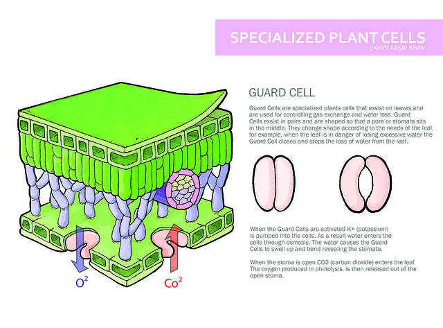 Examples of Specialized Plant Cells http://www.flickr.com/photos/14314211@N05/3056218229/