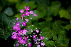 annual plant, flower, leaf, plant, nature, verbena, macro photography, wildflower, flora, petal,