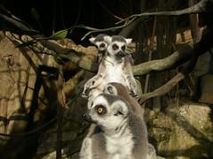 animal, zoo, mammal, fauna, lemur, procyonidae, wildlife,