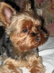 dog breed, animal, dog, schnoodle, pet, australian silky terrier, norfolk terrier, biewer terrier, norwich terrier, morkie, australian terrier, carnivoran, yorkshire terrier, terrier,