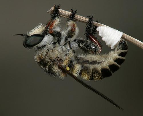 insect northcarolina robberfly coastalplain diptera asilidae eol canonef100mmf28macrousm carolinabeachstatepark megaphorus asilinae megaphorusminutus taxonomy:binomial=megaphorusminutus