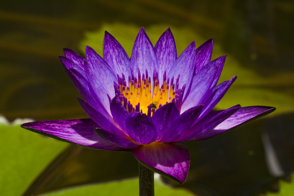 Glowing Tropical Water Lily (HDR)