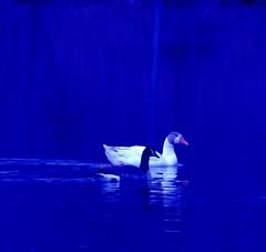 A mixed match  'duck duck goose'