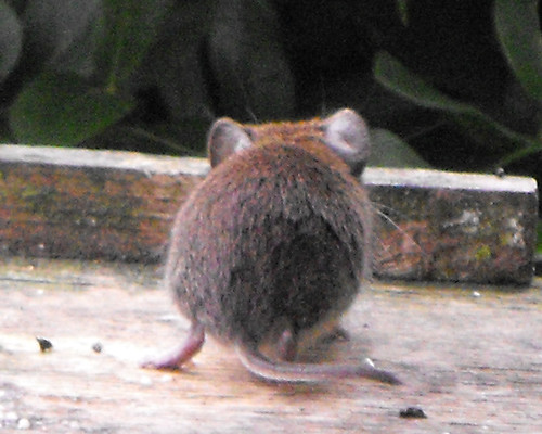 vole from the rear