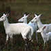 "Our Royal Family    ""Four Wild Albino Whitetail Deer"""