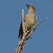 Satin Bowerbird by Greg Miles