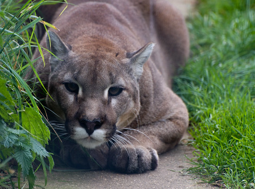Cougar ready to pounce vial Flickr