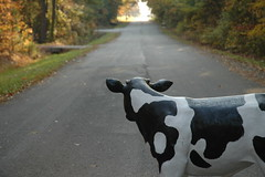 Kain Road Cow 20081102 009