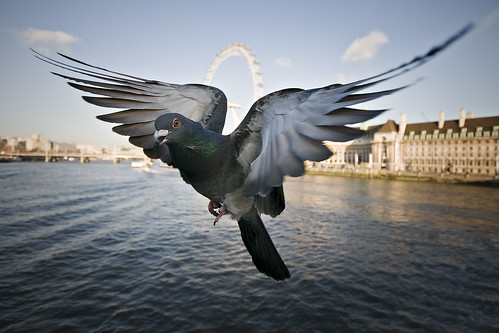 Pigeon by Jon Cartwright