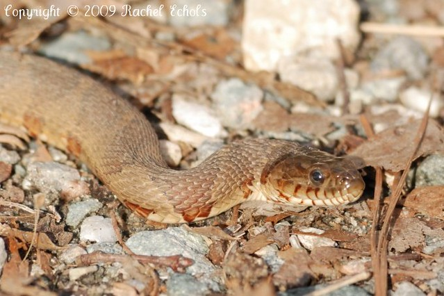 Non Venomous Snakes in Illinois http://www.flickr.com/photos/rlechols/3401610180/
