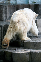 Polar Bear - 21