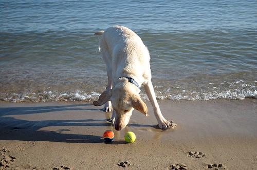 yellow Labrador choosing between two balls