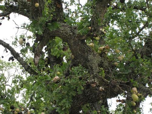 napa, calistoga, solage, oak, parasites IMG_2548