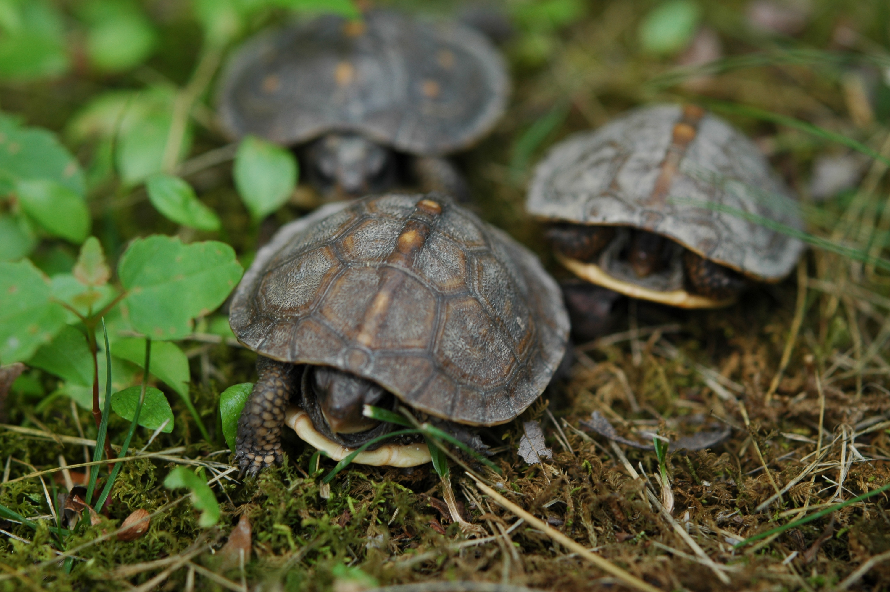 Baby Box Turtle Care 1 week old box turtle baby :3 : aww