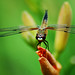 Dragonfly / Libelle by Ellie-Eve