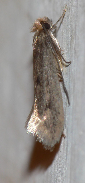 brown dotted clothes moth niditinea fuscella flickr. Black Bedroom Furniture Sets. Home Design Ideas