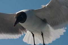 Sea Gull Closeup