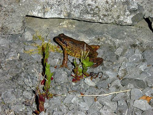Ballyforan Frog / Toad