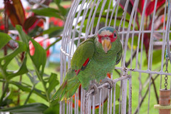 wildlife(0.0), animal(1.0), lovebird(1.0), macaw(1.0), parrot(1.0), branch(1.0), pet(1.0), green(1.0), fauna(1.0), parakeet(1.0), lorikeet(1.0), common pet parakeet(1.0), beak(1.0), bird(1.0),