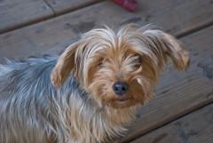dandie dinmont terrier(0.0), cairn terrier(0.0), australian terrier(0.0), dog breed(1.0), animal(1.0), dog(1.0), schnoodle(1.0), pet(1.0), australian silky terrier(1.0), norfolk terrier(1.0), glen of imaal terrier(1.0), poodle crossbreed(1.0), biewer terrier(1.0), havanese(1.0), norwich terrier(1.0), morkie(1.0), carnivoran(1.0), yorkshire terrier(1.0), terrier(1.0),