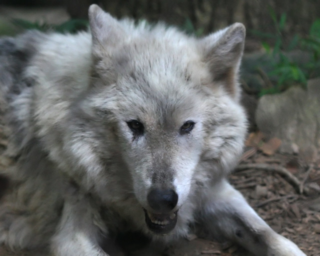 Evil Wolf Face Evil Wolf Face...