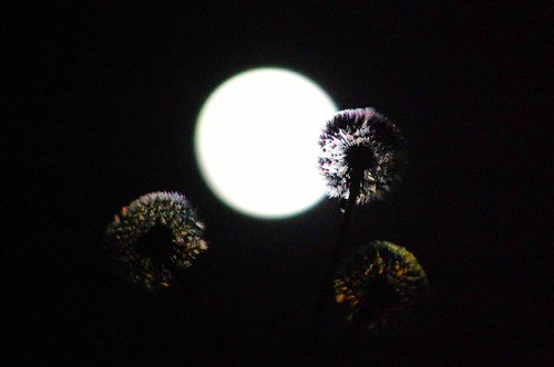 Dandelions by Moonlight also....