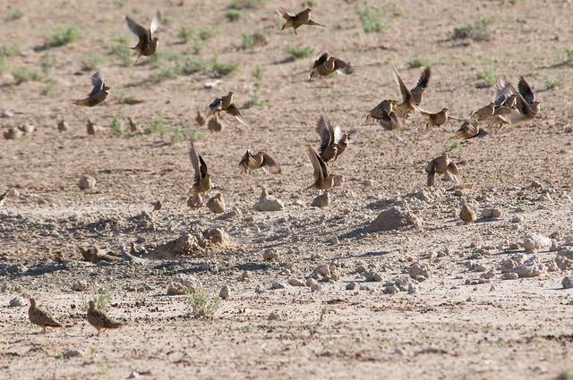 Header of sandgrouse