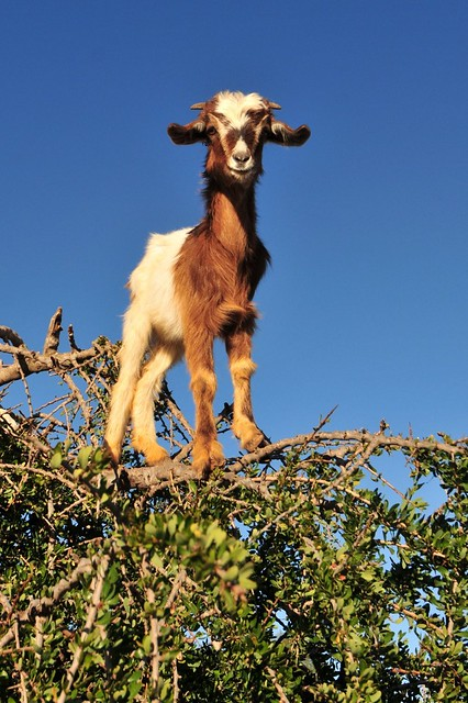 Goats in trees   Flickr - Photo Sharing!  Goats in trees ...