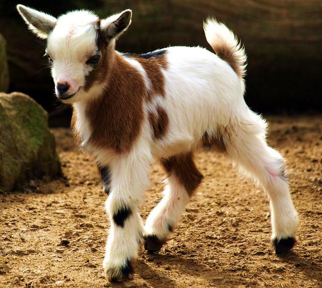 Baby-Goat im Jülicher Brückenkopfpark