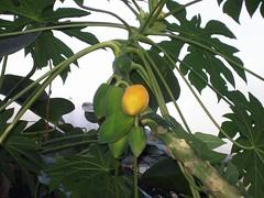 papaya, tree, plant, fruit,