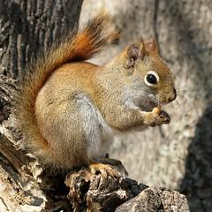 Écureuil roux -- Red Squirrel