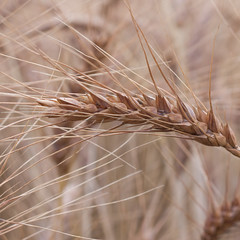 emmer, hordeum, einkorn wheat, barley, wheat, macro photography, food, close-up, cereal,