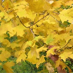 tree(0.0), deciduous(1.0), branch(1.0), leaf(1.0), yellow(1.0), plant(1.0), grape leaves(1.0), maple leaf(1.0), autumn(1.0),