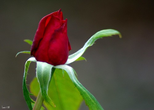 Waving Rose