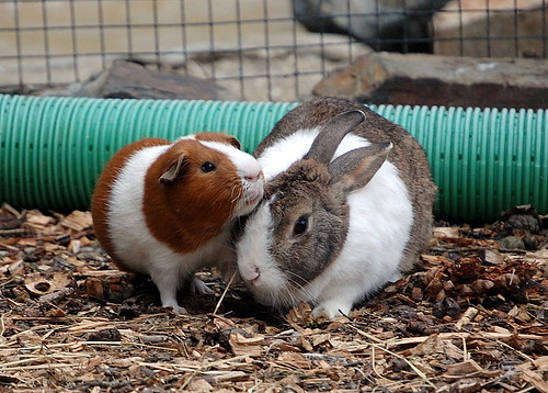 best of friends[guinea pig-rabbit]