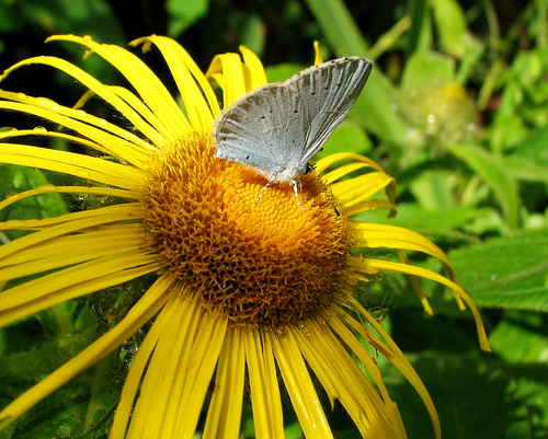 Basking grey butterfly