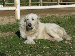 dog breed, animal, polish tatra sheepdog, dog, maremma sheepdog, slovak cuvac, livestock guardian dog, carnivoran, great pyrenees,