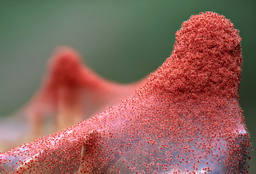 Red spider mite (Tetranychus urticae)