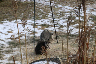 Possumhasafriend
