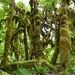 Hoh Rain Forest by slcook52 (Sylvia)