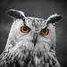 Eagle Owl (Explore)