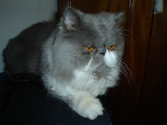 exotic shorthair, animal, persian, british semi-longhair, small to medium-sized cats, pet, cat, carnivoran, whiskers,