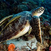 adj_DSC6914 turtle with passengers by edpdiver